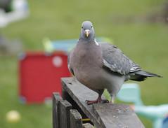 seabird(0.0), wildlife(0.0), animal(1.0), wing(1.0), fauna(1.0), beak(1.0), stock dove(1.0), bird(1.0),