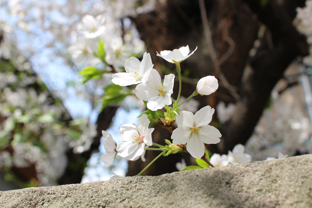 sakura2014(桜)i