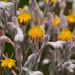Goldencrest -- Lophiola aurea by Lee Casebere