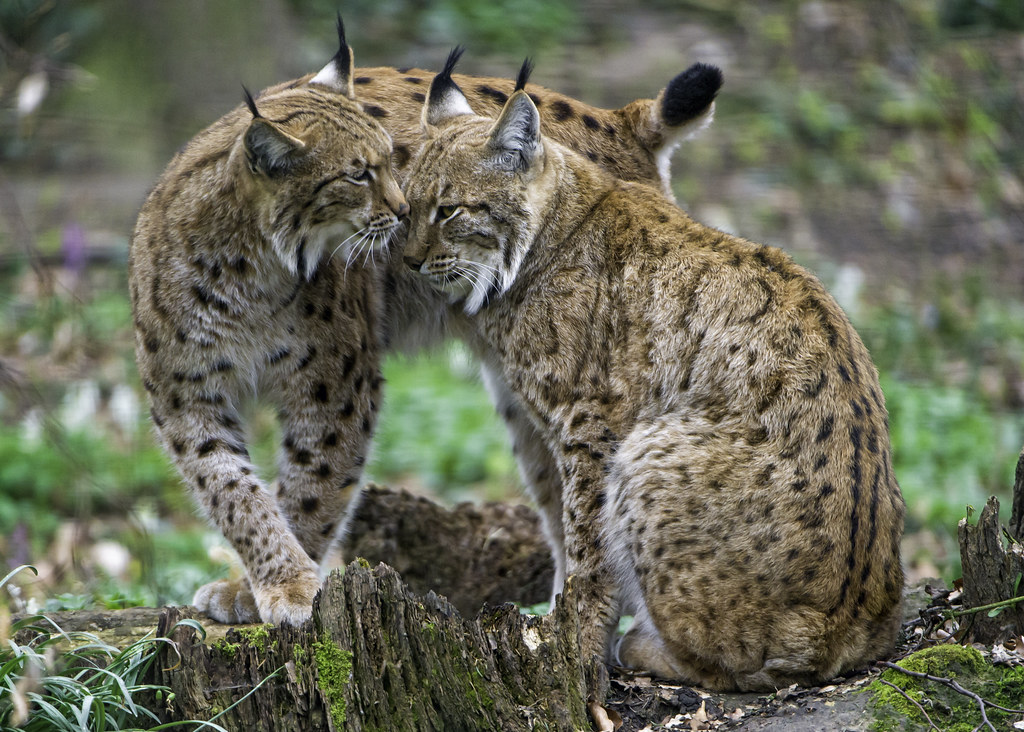 The two lynxes showing love