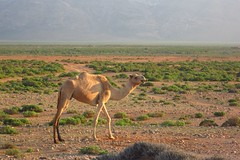 animal, prairie, steppe, plain, mammal, grazing, fauna, natural environment, landscape, camel, arabian camel, pasture, grassland, safari, wildlife,