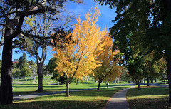 Ginkgos Aflame