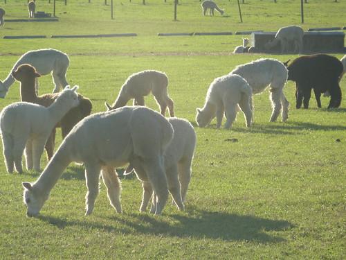 Alpaca farm 1