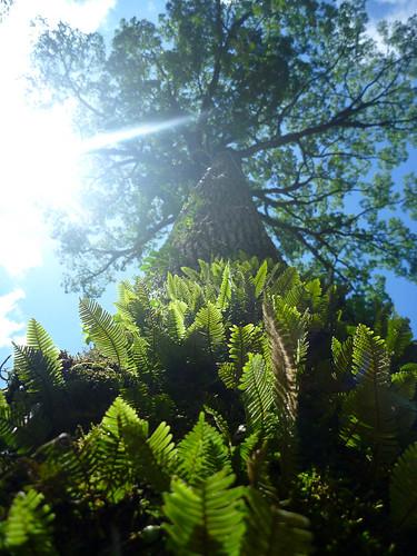 Árvore gigante na trilha