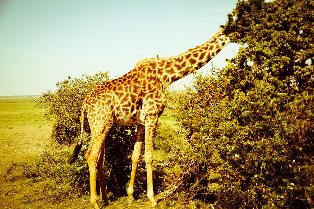 Giraffes (9)