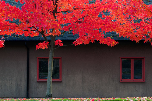 red tree fall window leaves vancouver campus leaf maple university cottage ubc auntumn