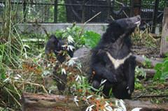 母熊隨時均注意週遭以保護小熊。(楊吉宗 攝)
