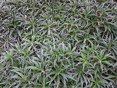 evergreen(0.0), shrub(0.0), flower(0.0), grass(0.0), rosemary(0.0), leaf(1.0), plant(1.0), herb(1.0), flora(1.0), groundcover(1.0),