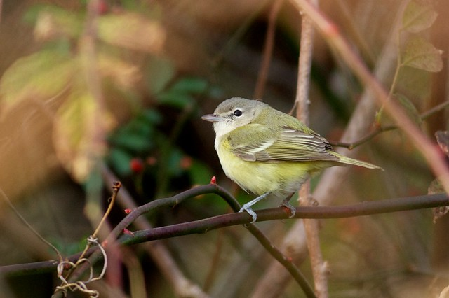 Bell's Vireo - New Jersey