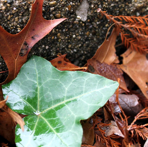 Single Ivy Leaf