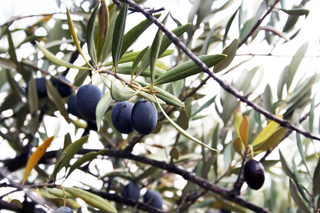 the last olives.
