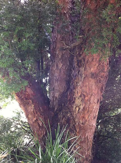 Header of Afrocarpus
