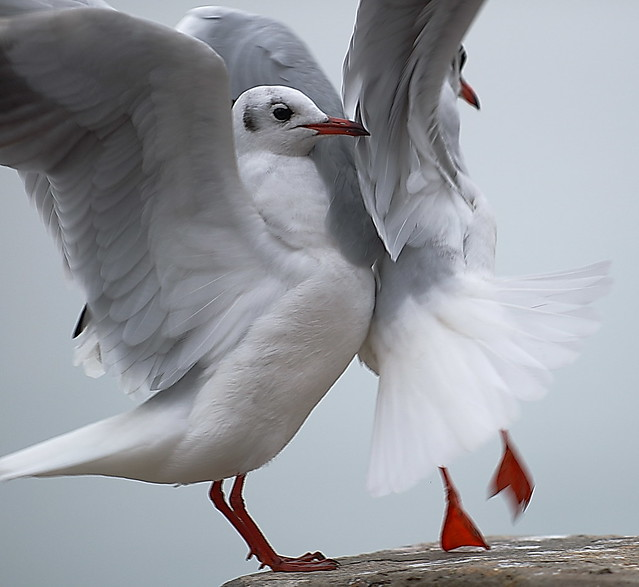 The dance of seagulls