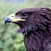 Small photo of Aigle