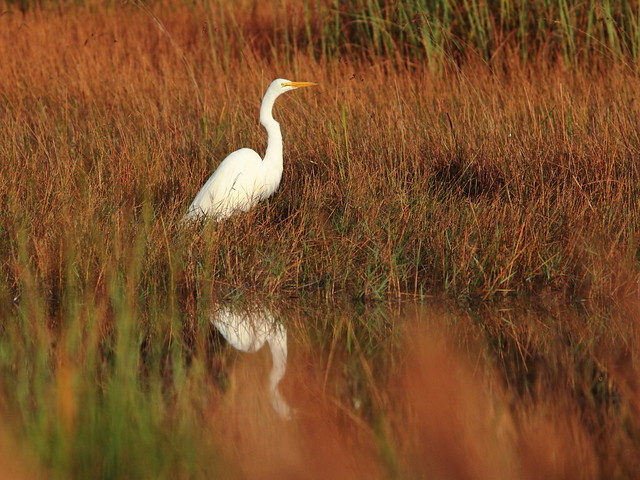 Great Egret 20111217