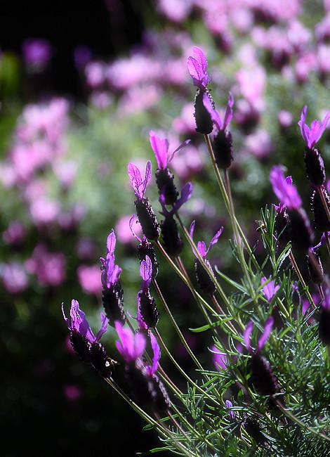 _lavender_