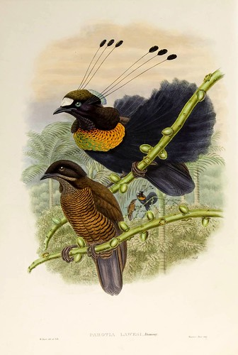 028-Ave del paraiso de Lawes-The birds of New Guinea and the adjacent Papuan islands..1875-1888-Vol I-Gould y Sharpe