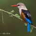 Grey-headed Kingfisher (Halcyon leucocephala) by Mike Barth - Bird Guide UAE