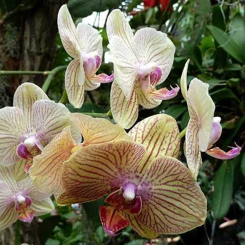 Chicago, Lincoln Park Conservatory, Orchids by lalobamfw