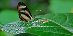 Ithomiine butterfly