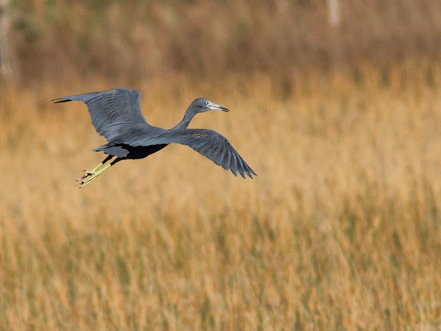 Little Blue Heron 6-20111230