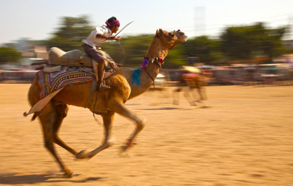 7094 A racing camel--Pushkar Fair , India