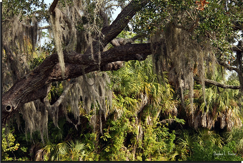 trees usa tree beautiful landscape photography hawaii photo photographer unitedstates image branches picture australia photograph spanishmoss hanging bromeliad bromeliaceae airplant hang 220 graybeard angiosperm floridamoss canoneos60d longmoss