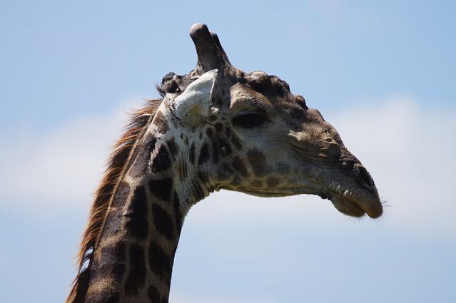 SAGiraffe03