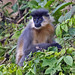 Capped Langur - Photo (c) Vijay Anand Ismavel, some rights reserved (CC BY-NC-SA)