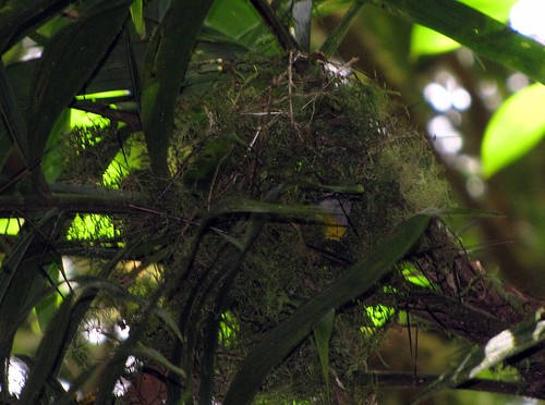 Pair of bananaquits nest building