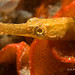 pipefish by gapowell