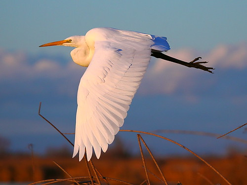 IMG_4440 Great Egret, Sacramento National Wildlife Refuge by ThorsHammer94539