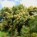 Flowering Mango Tree