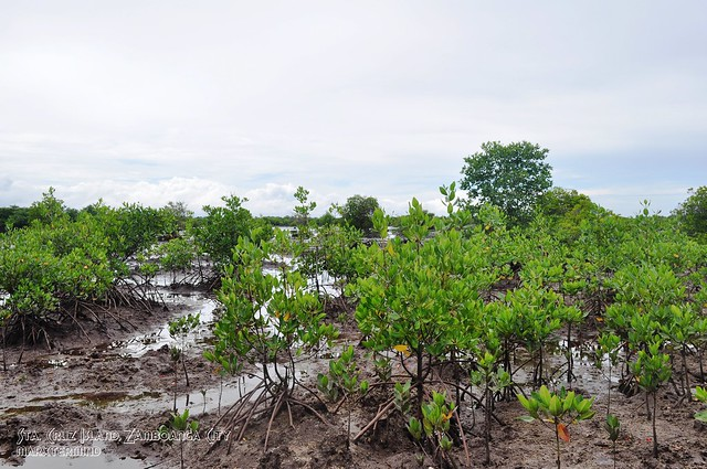 Mangroves in Sta. Cruz Island