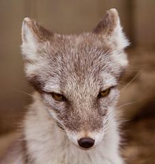 arctic fox, animal, fauna, close-up, carnivoran, whiskers, wildlife,