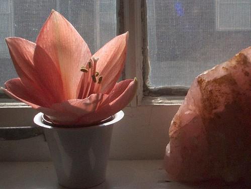 Amaryllis Bloom Beside Pink Quartz
