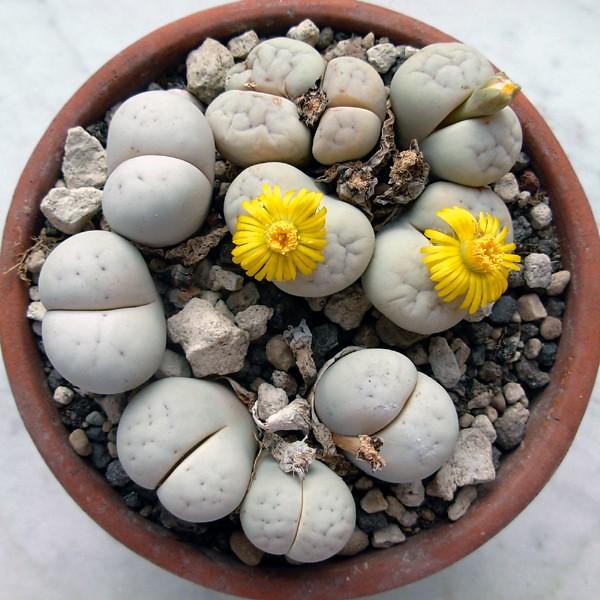Eupeodes corollae & Lithops ruschiorum var. ruschiorum, C 102