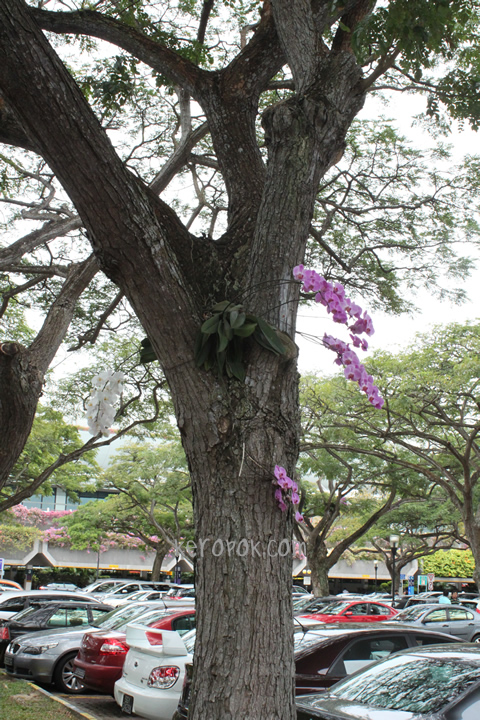 Changi Airport Orchid in the Carpark