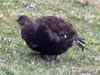 Black Grouse, northern England, 30-Dec-11 by Dave Appleton