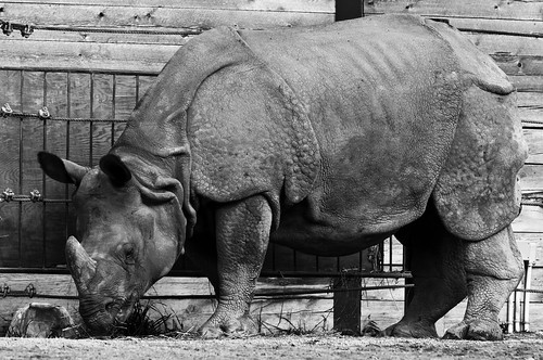 Great Indian Rhino BW