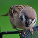 Angry Tree Sparrow