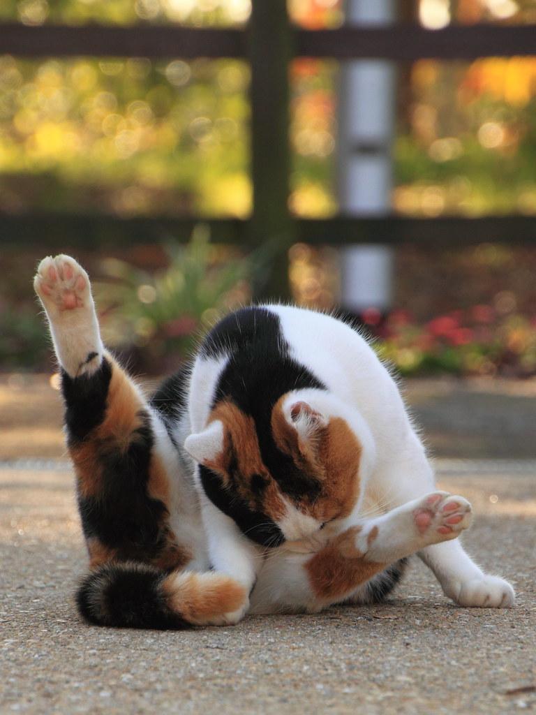 三毛猫さんはV字型