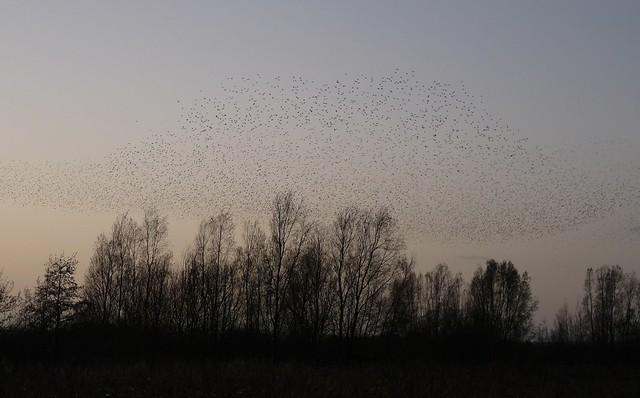 25384 - Starling Murmuration, WWT Llanelli