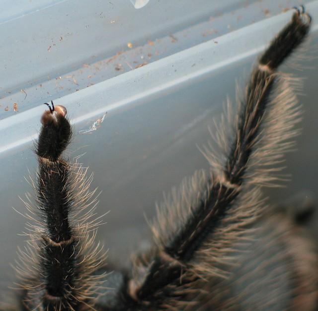 Tarantula feet