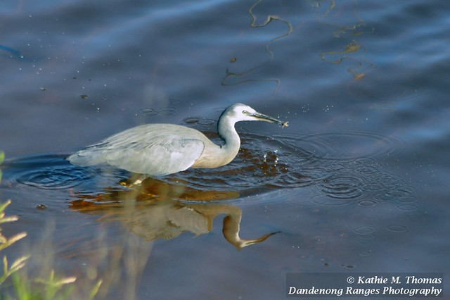 What has the White-faced Grey Heron caught?