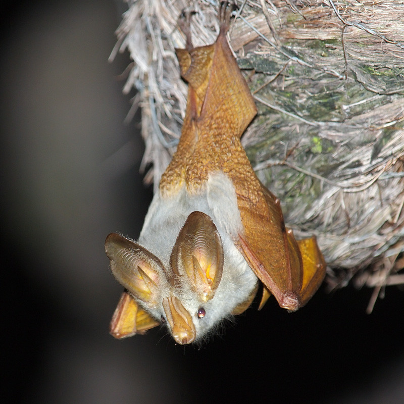 Yellow-winged bat - Photo (c) Oleg Chernyshov, some rights reserved (CC BY)