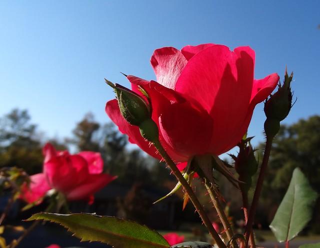 Rose in morning sun, sooc