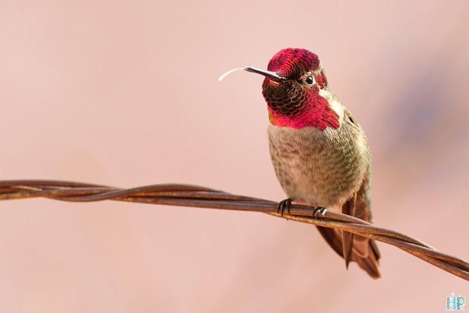 Anna's Hummingbird 121511-10-3