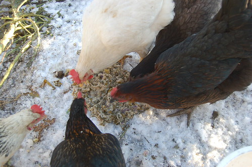 hens feeding on mash Dec 11 1