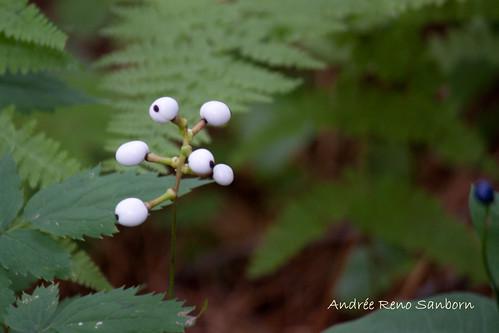 White Cohosh (Actaea alba).jpg
